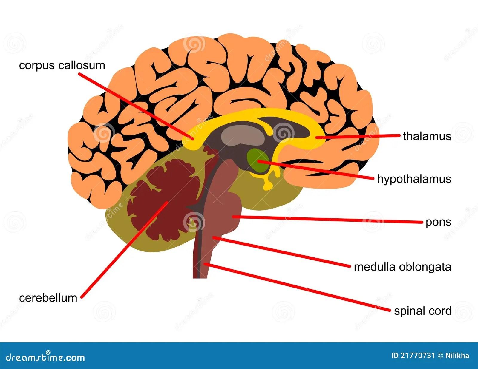 Parti Del Cervello Nella Vista Laterale Illustrazione Di