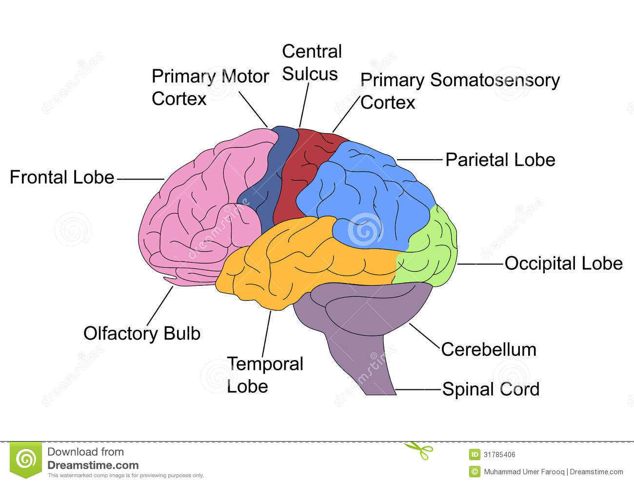 Parts Of Brain Stock Vector Image Of Labelled Colored
