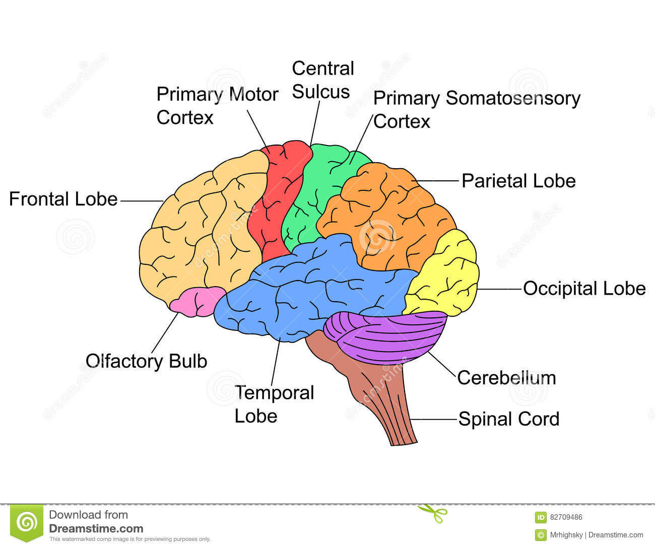 Parts Of Brain Stock Vector Illustration Of Occipital