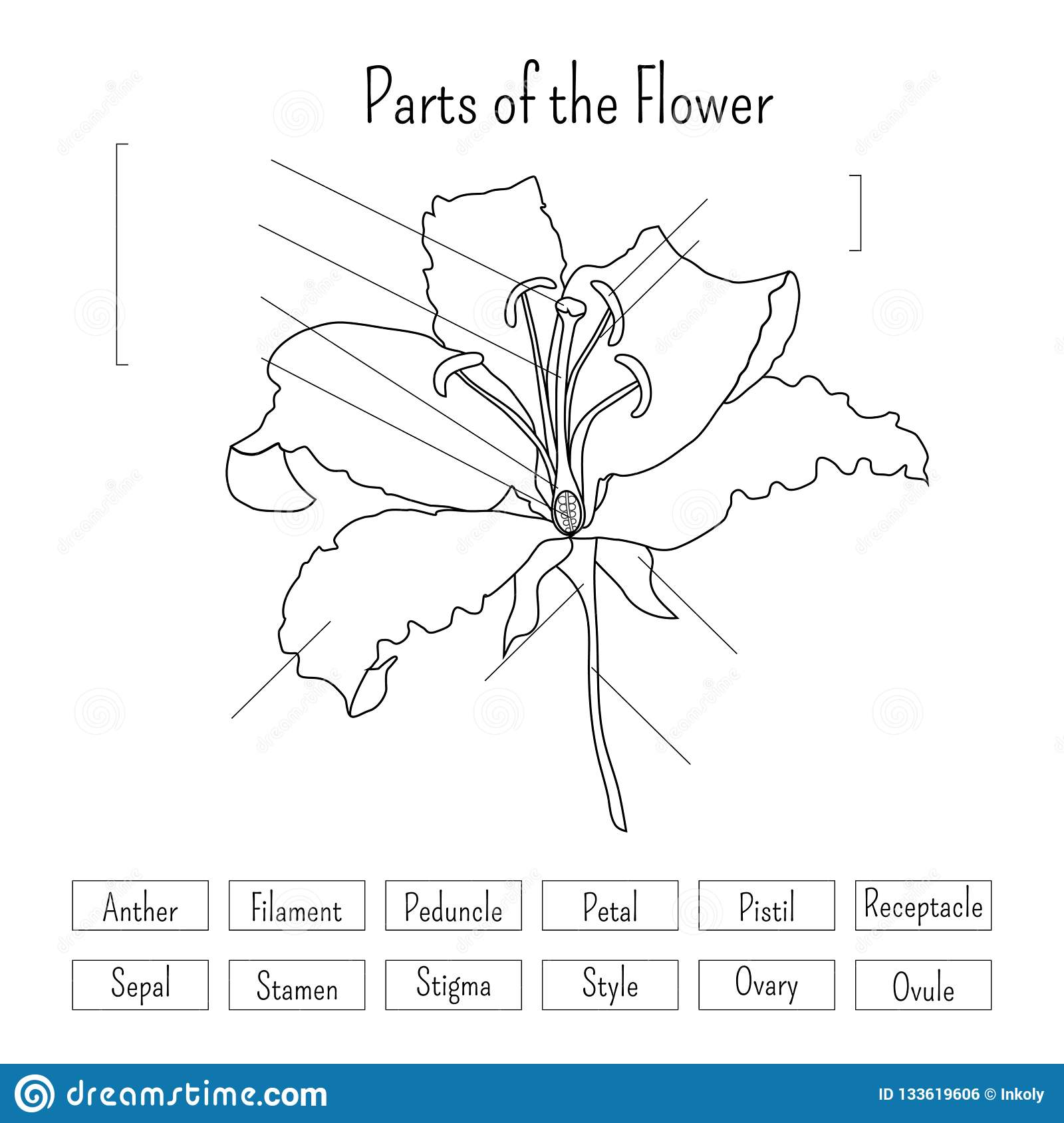 Parts Of The Flower Worksheet In Black And White Lily
