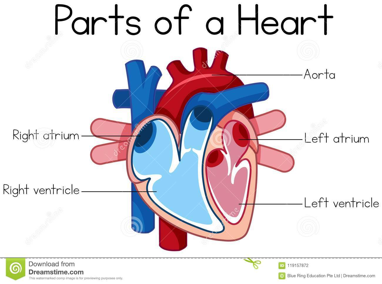 Parts Of Heart Diagram Stock Vector Illustration Of