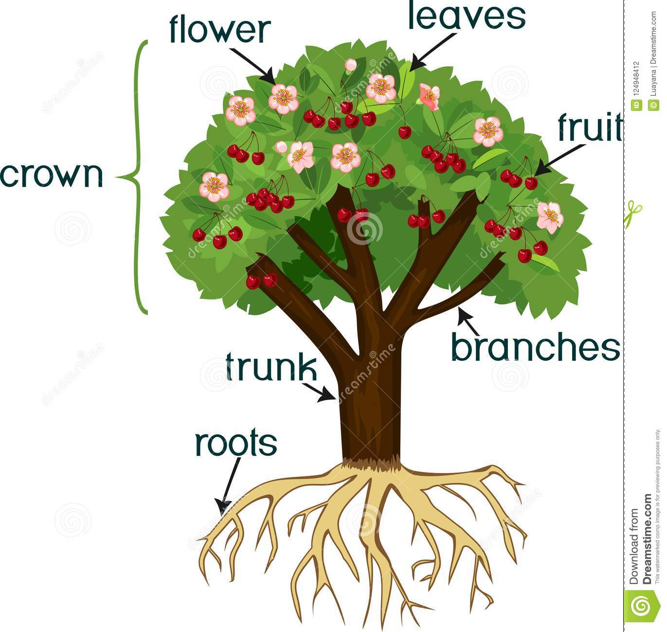 Parts Of Plant Morphology Of Cherry Tree With Root System