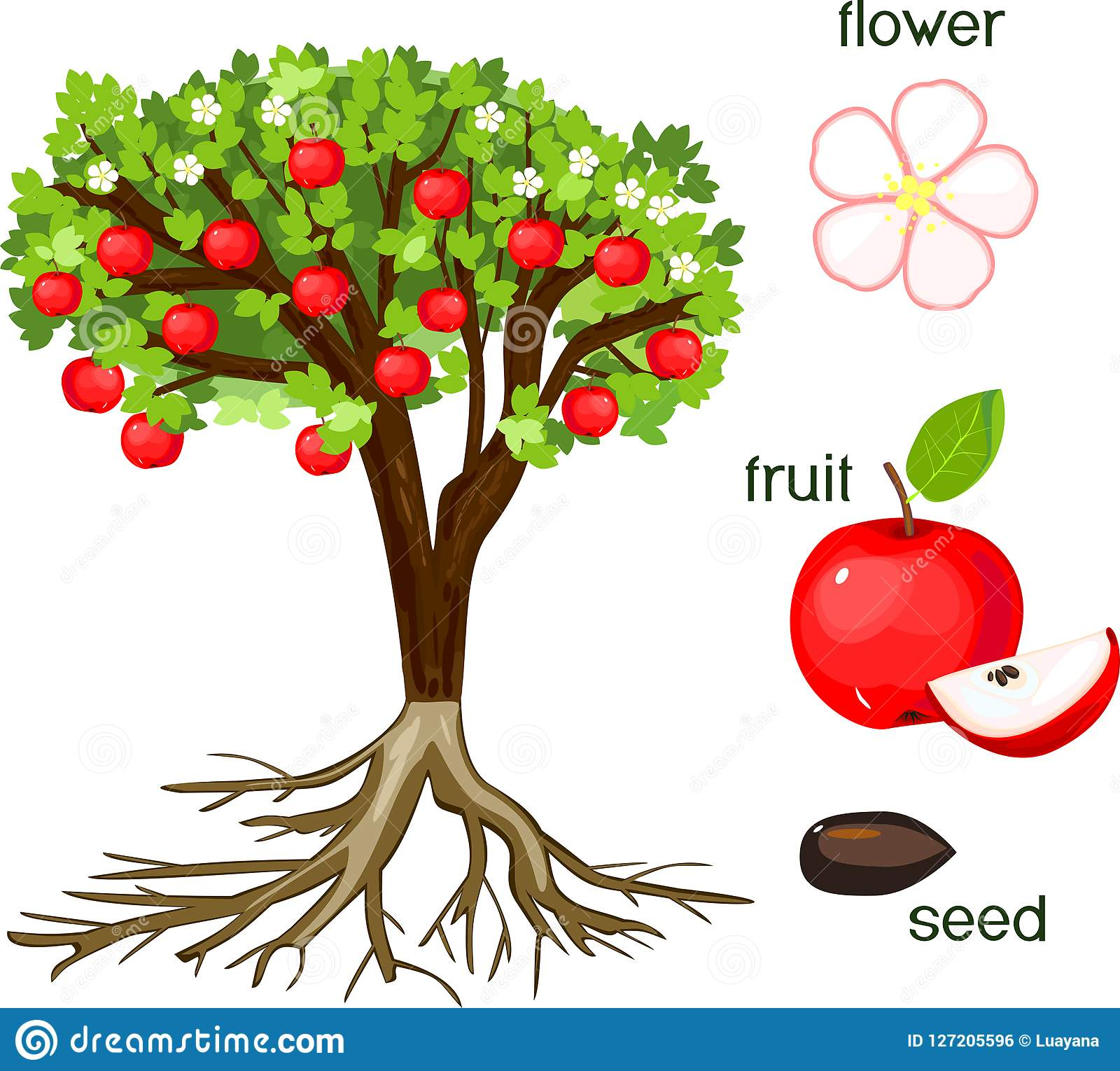Parts Of Plant Morphology Of Apple Tree With Fruits