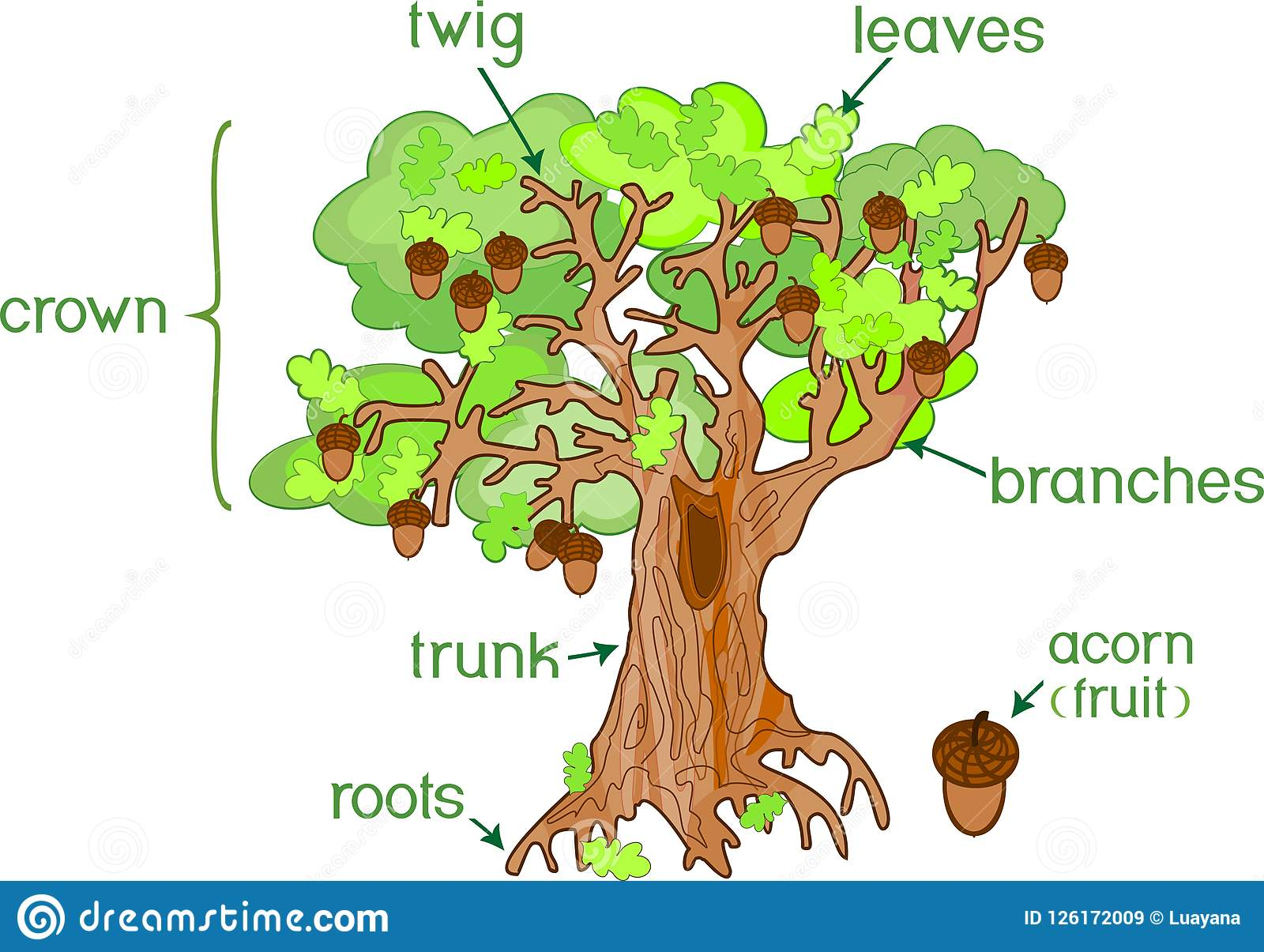 Parts Of Plant Morphology Of Oak Tree With Acorns Green
