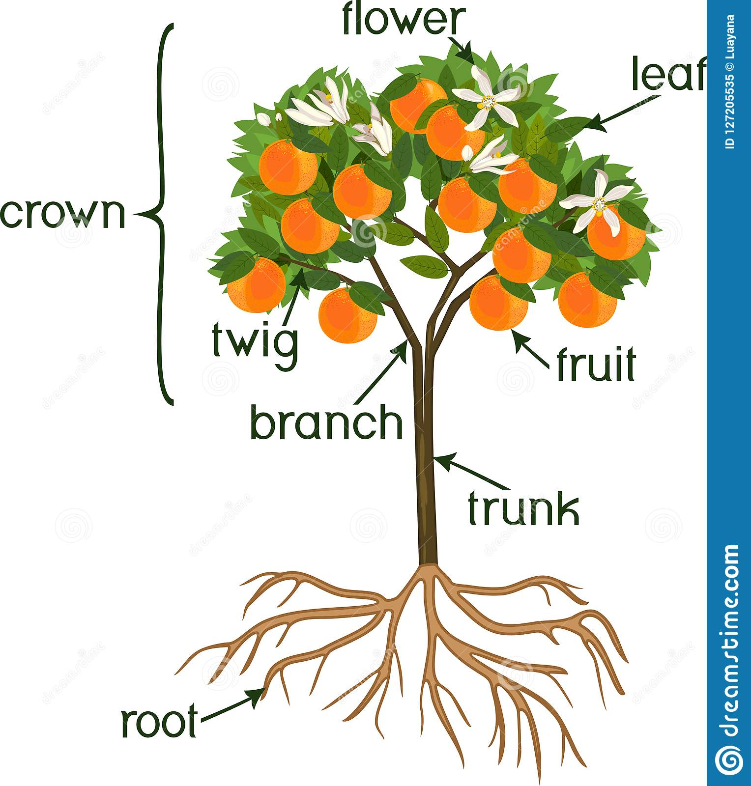 Parts Of Plant Morphology Of Orange Tree With Fruits