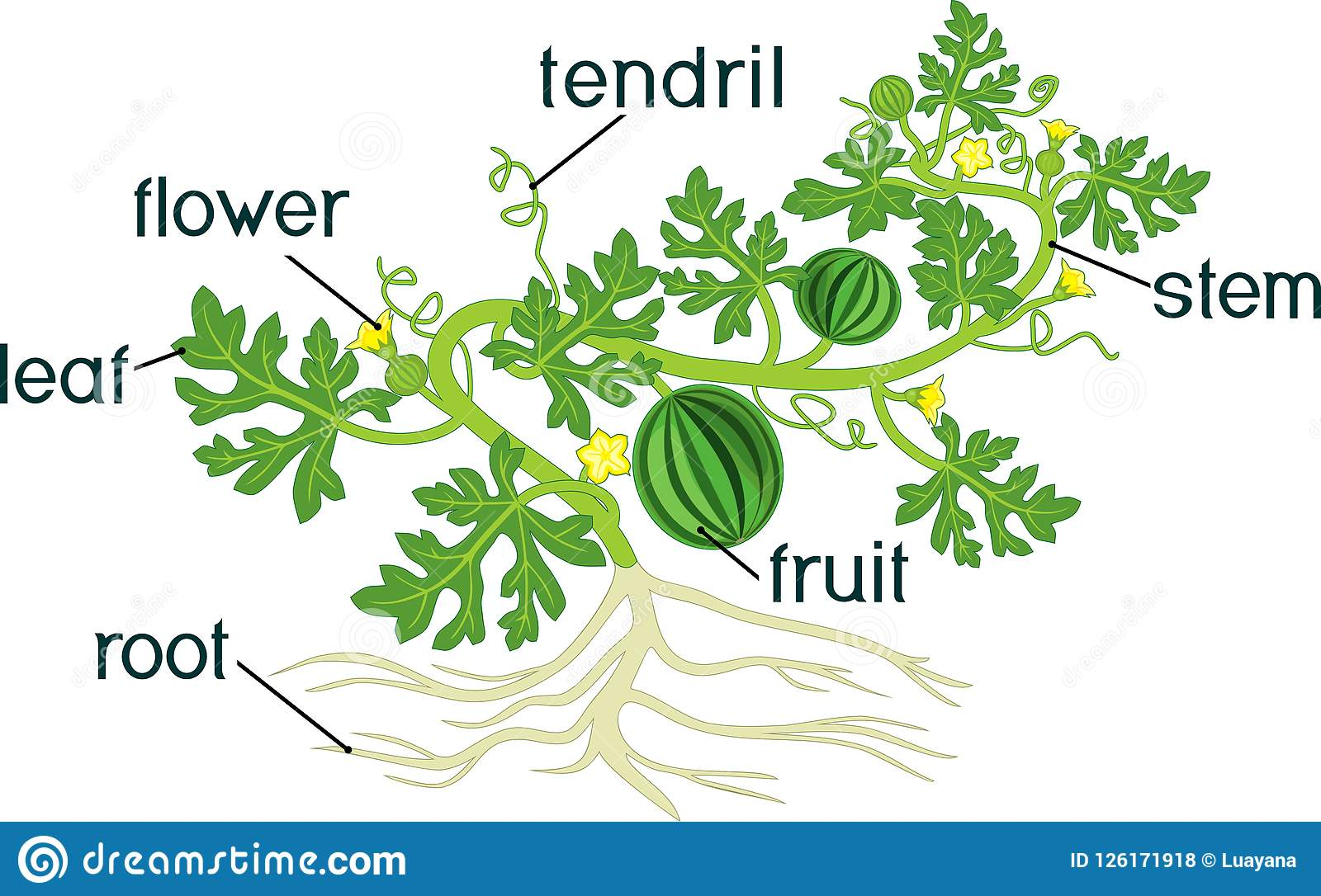 Parts Of Plant Morphology Of Watermelon Plant With Fruits