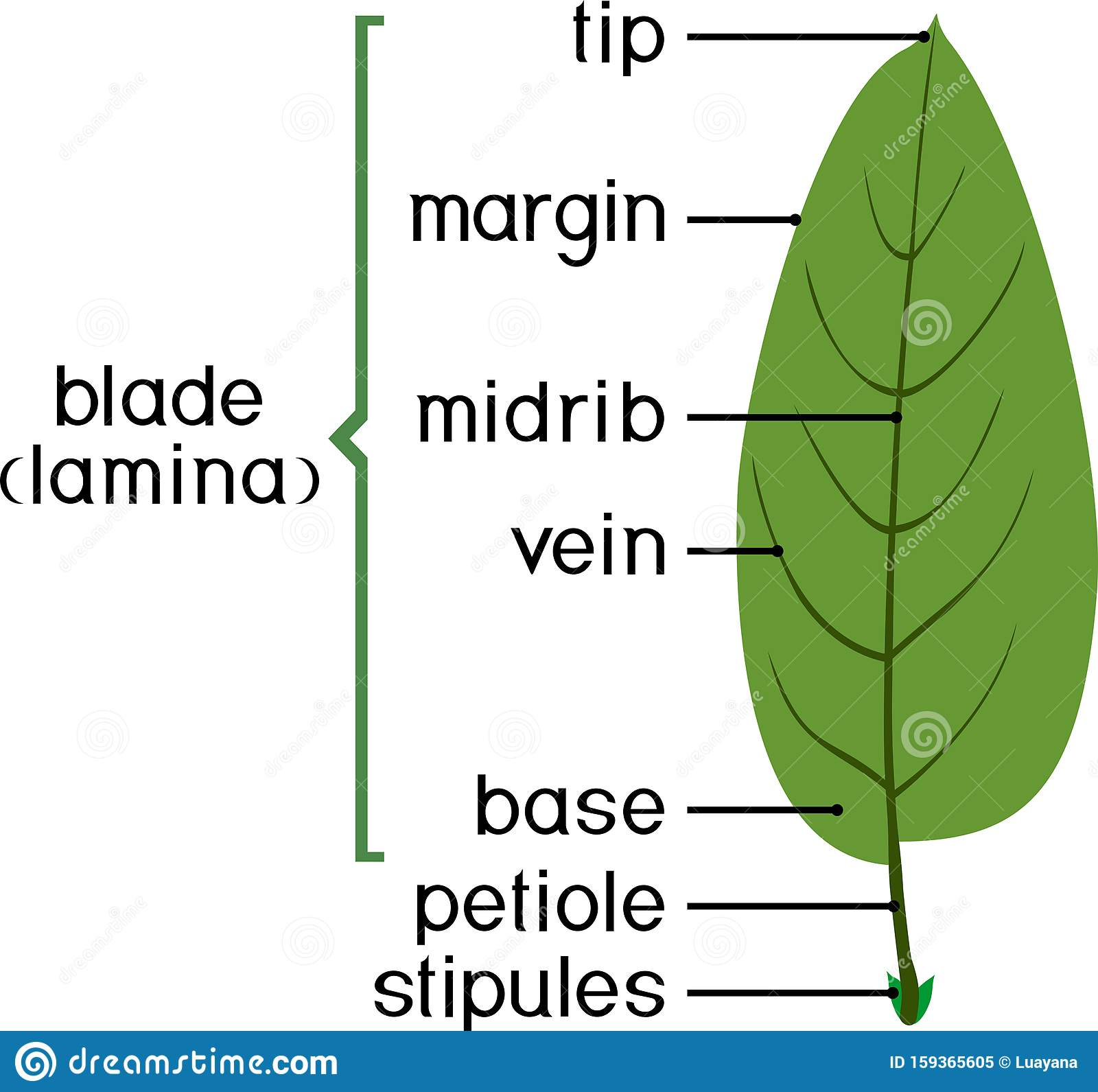 Parts Of Plant Structure Of Plant Leaf With Title Stock