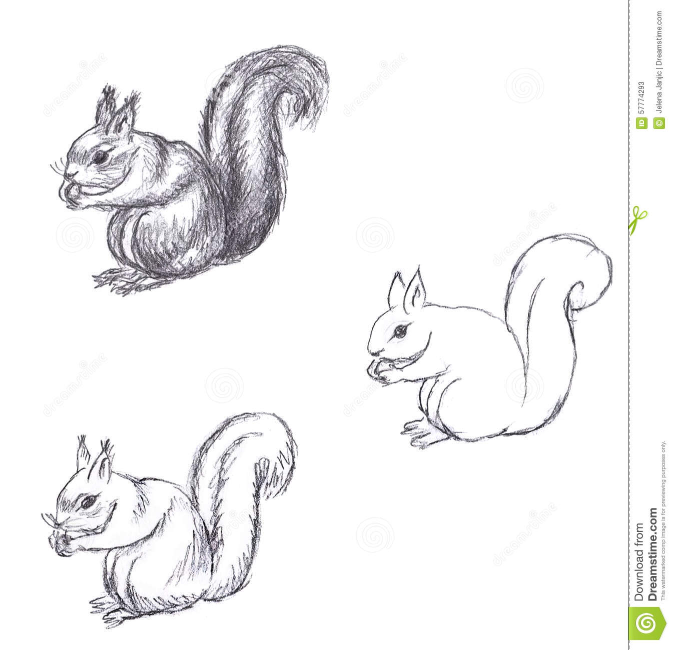Pencil Drawing Of Squirrel On White Background Stock