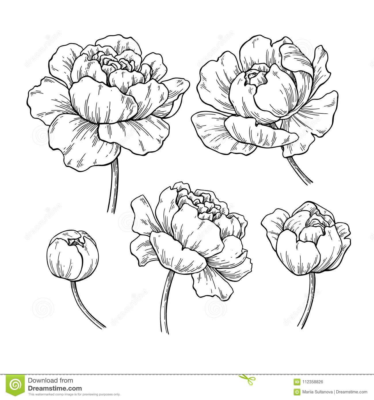 Peony Botanical Drawing Vector Hand Drawn Engraved Flower