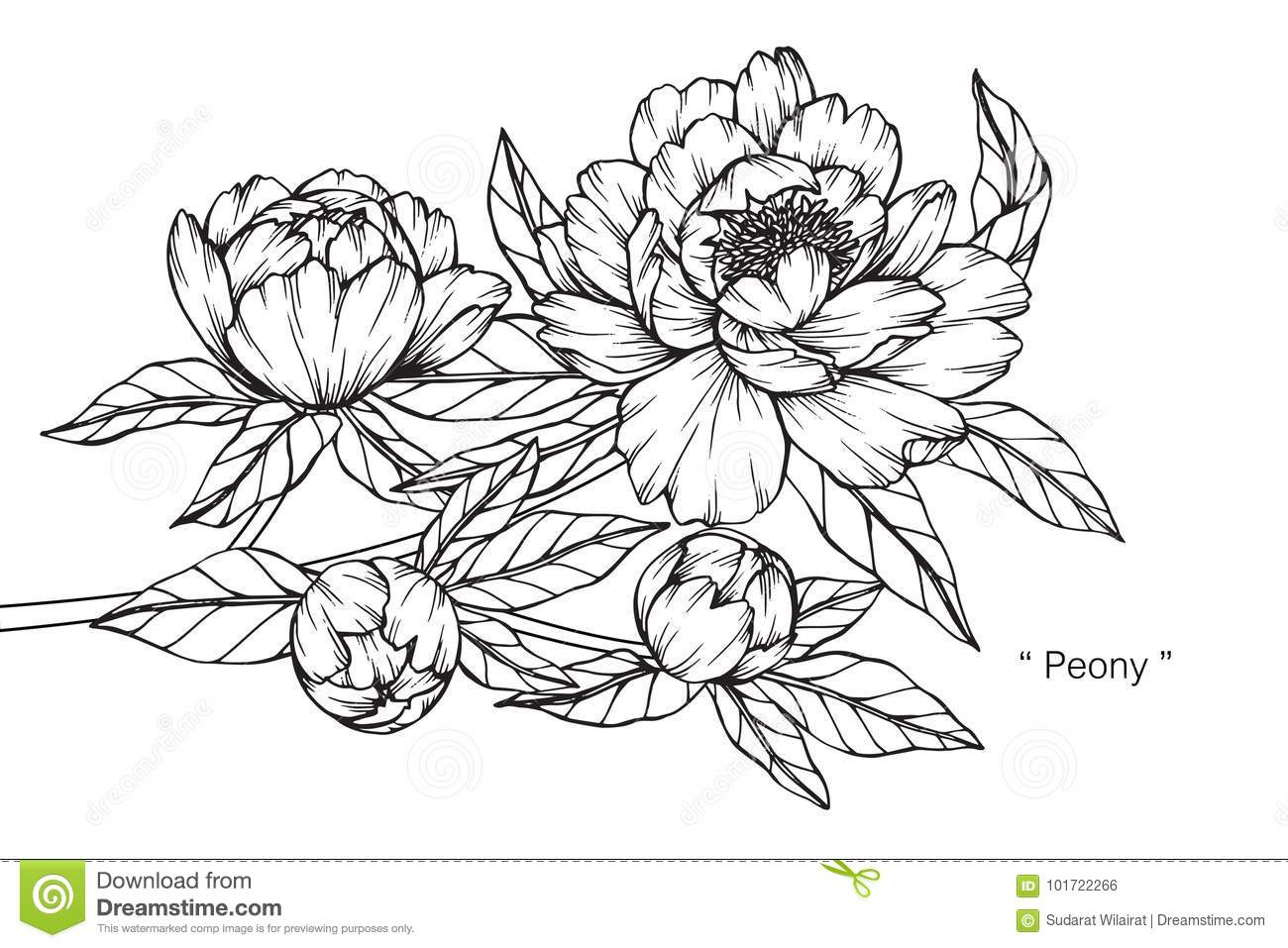 Peony Flower Drawing And Sketch Stock Illustration