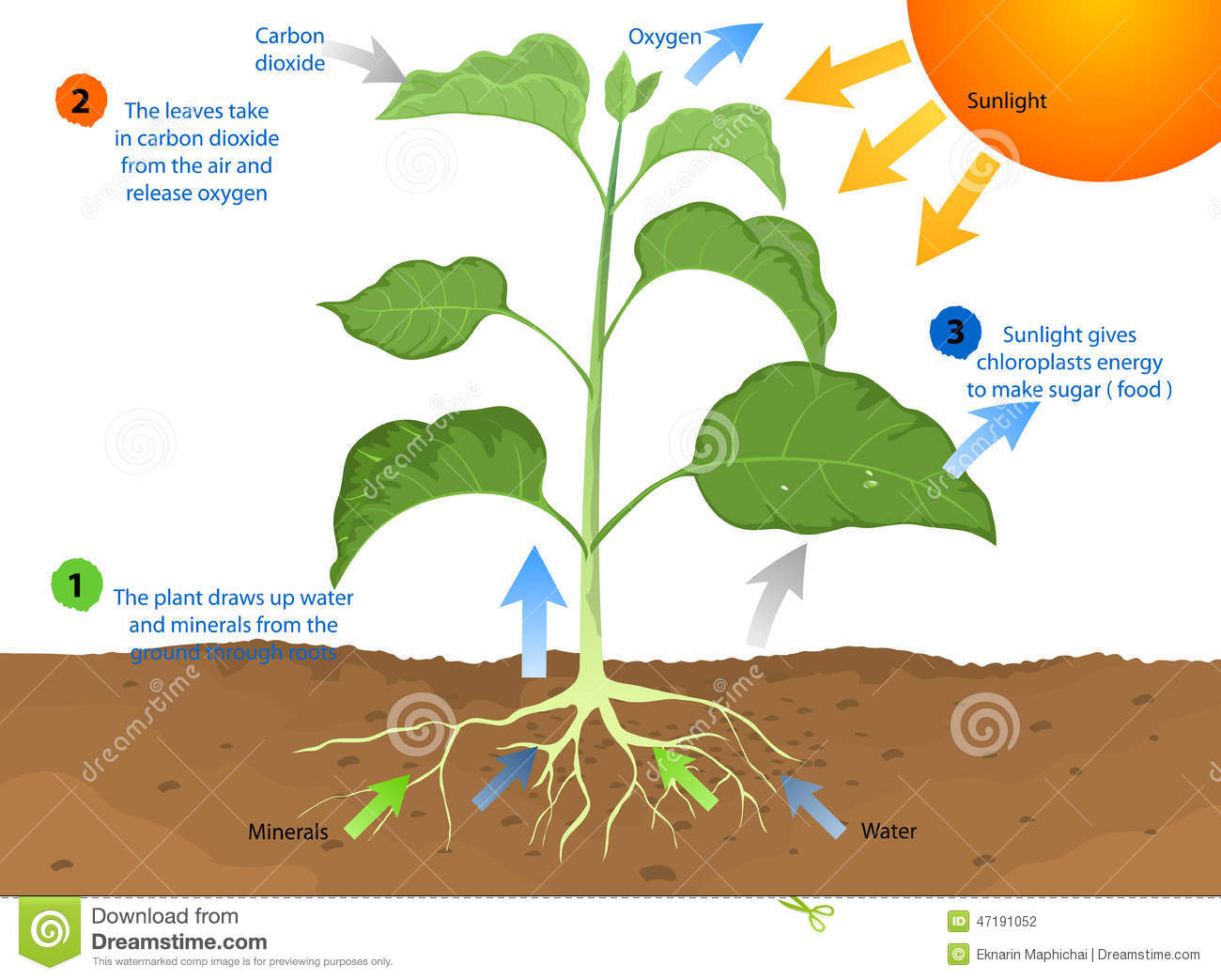 Photosynthesis Stock Illustration Illustration Of
