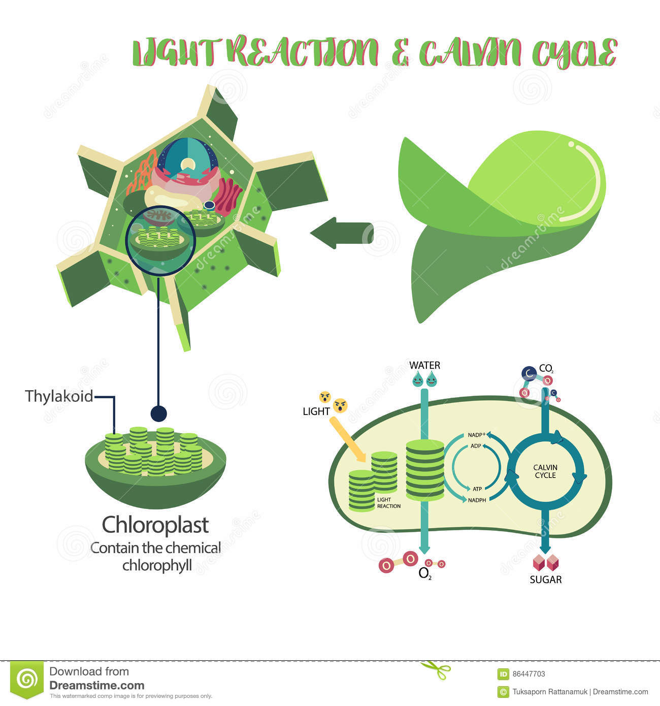 Photosynthesis Process Diagram Stock Vector