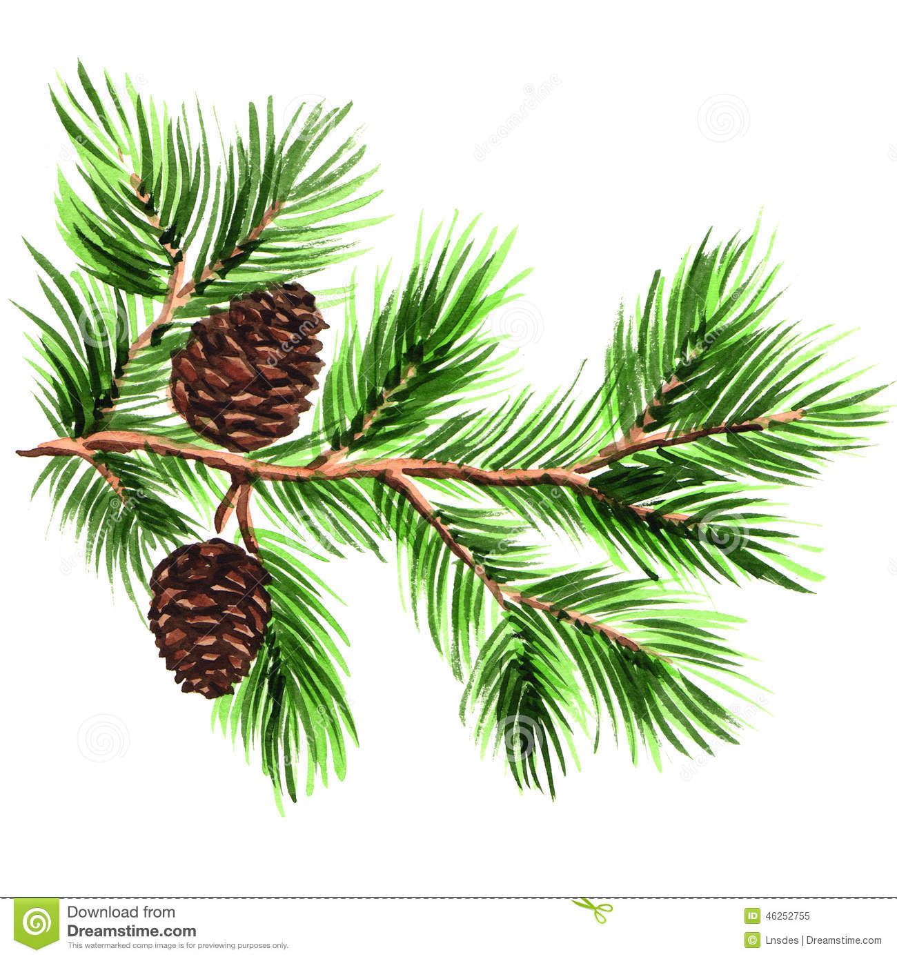 Pine Branch With Cones On A White Background Stock