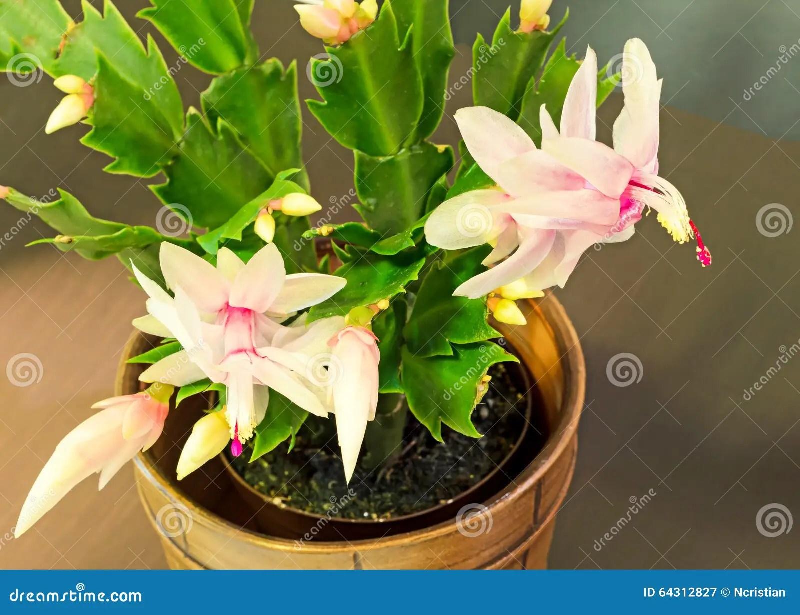 Pink White Schlumbergera Christmas Cactus Or