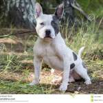 French Pitbull Photos Free Royalty Free Stock Photos From Dreamstime