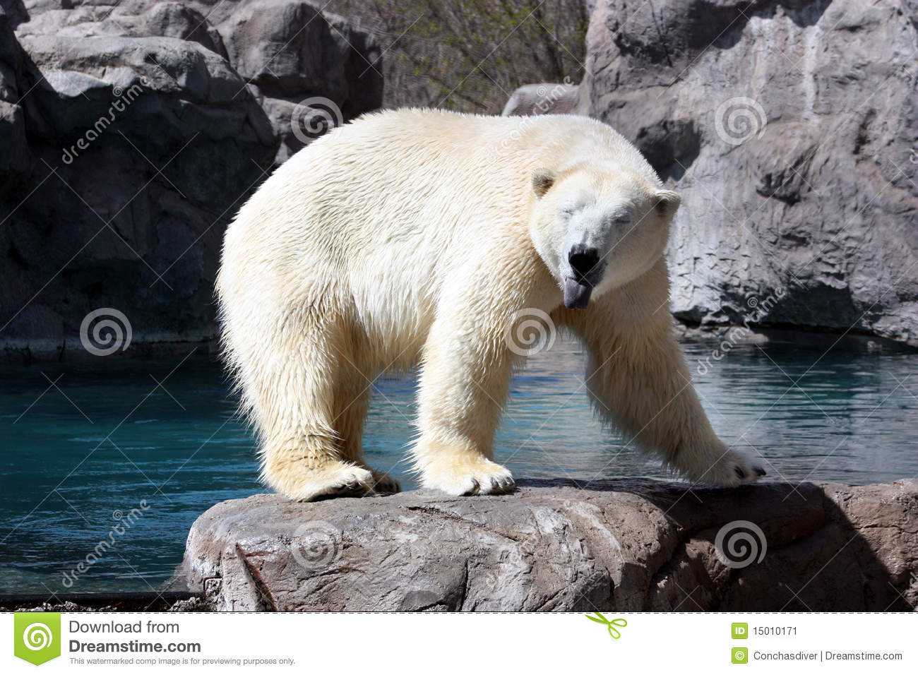 Polar Bear Face Stock Image Image Of Endangered Bear
