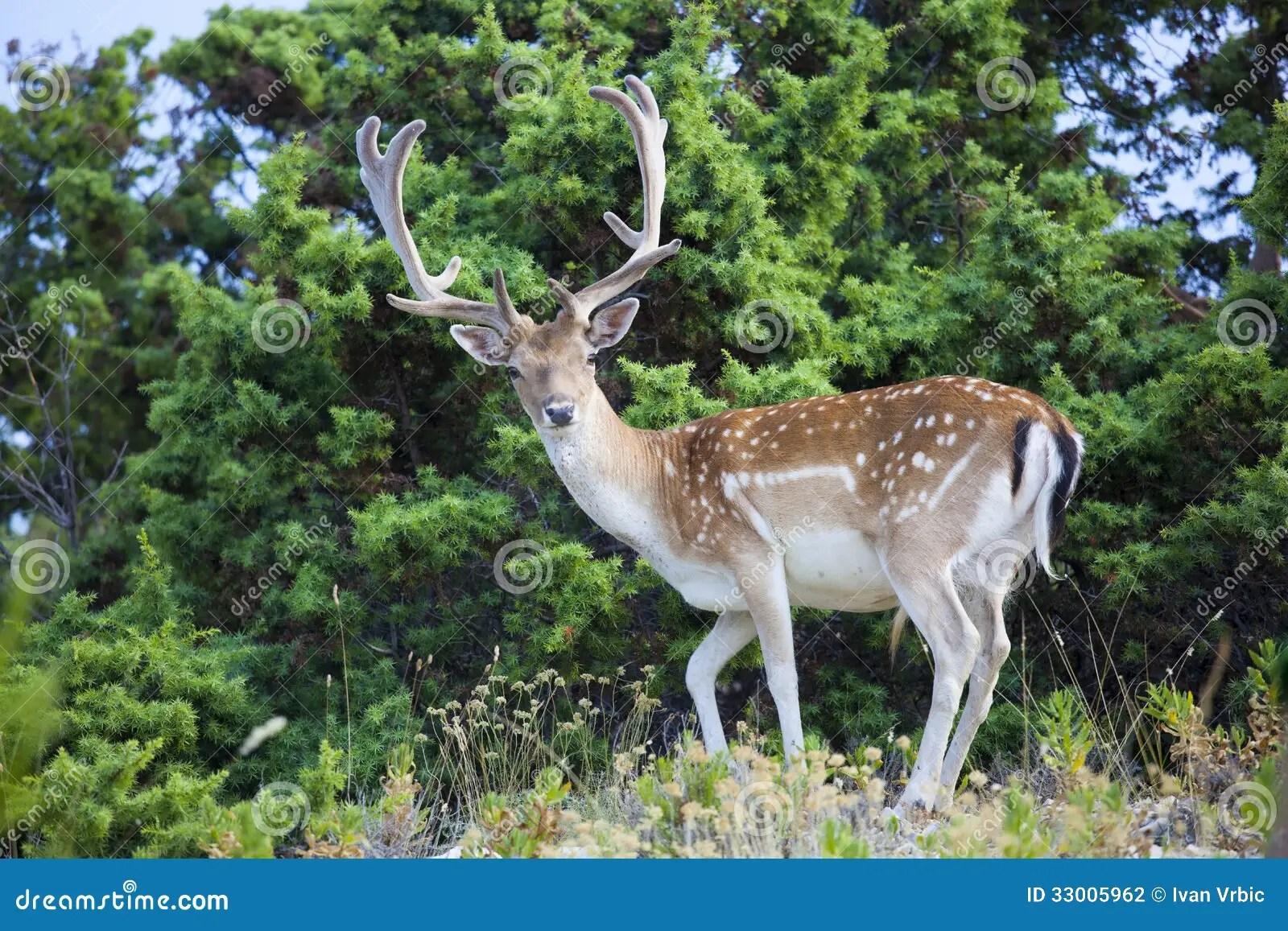 Posing Fallow Deer In Natural Habitat Stock Photo