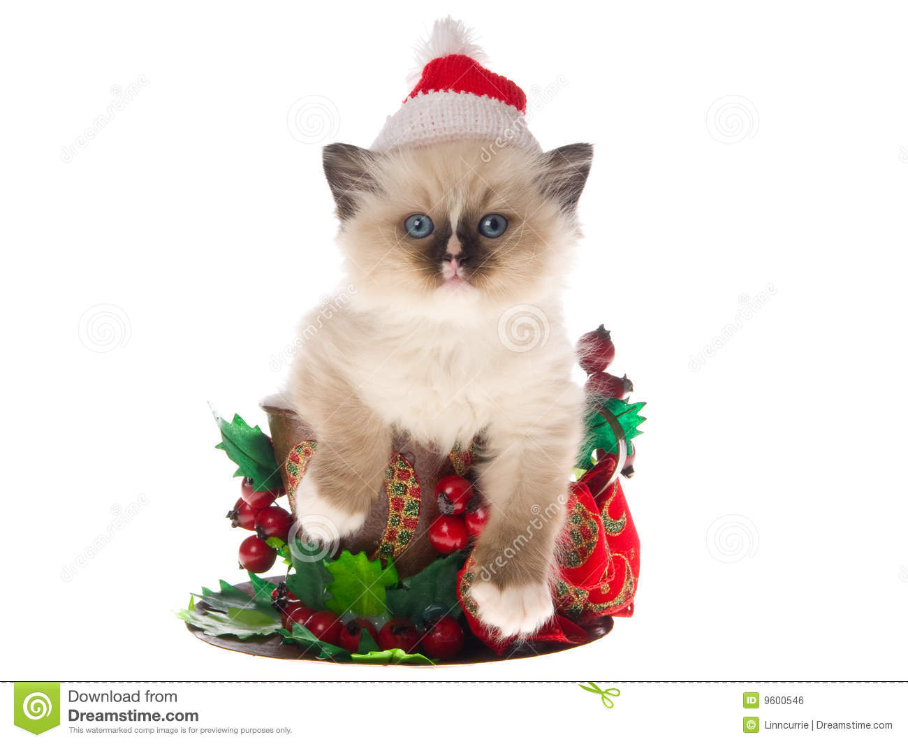 Pretty Ragdoll Kitten In Large Xmas Cup Royalty Free Stock