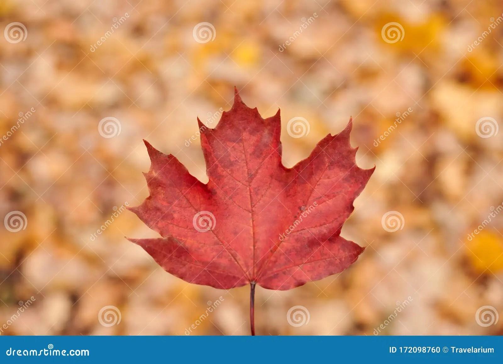 Red Autumn Leaf On Yellow Foliage Background Stock Photo