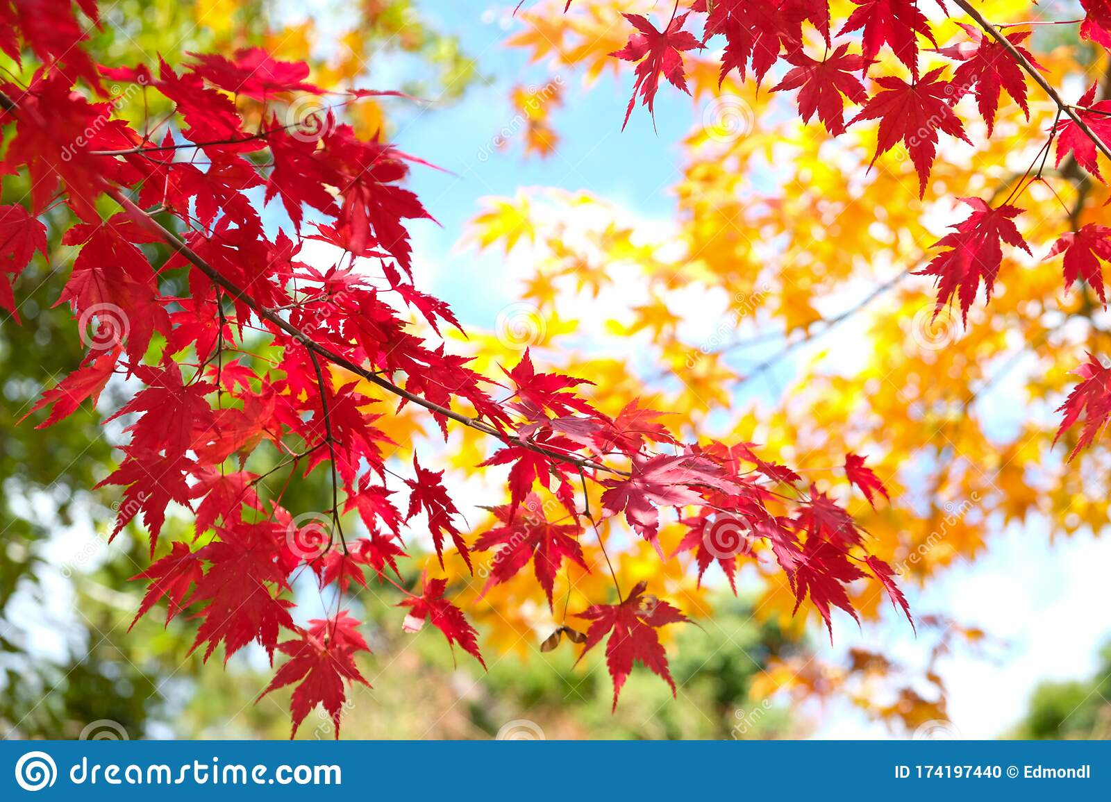 Red Leaf Maple Colorful In Winter Stock Photo