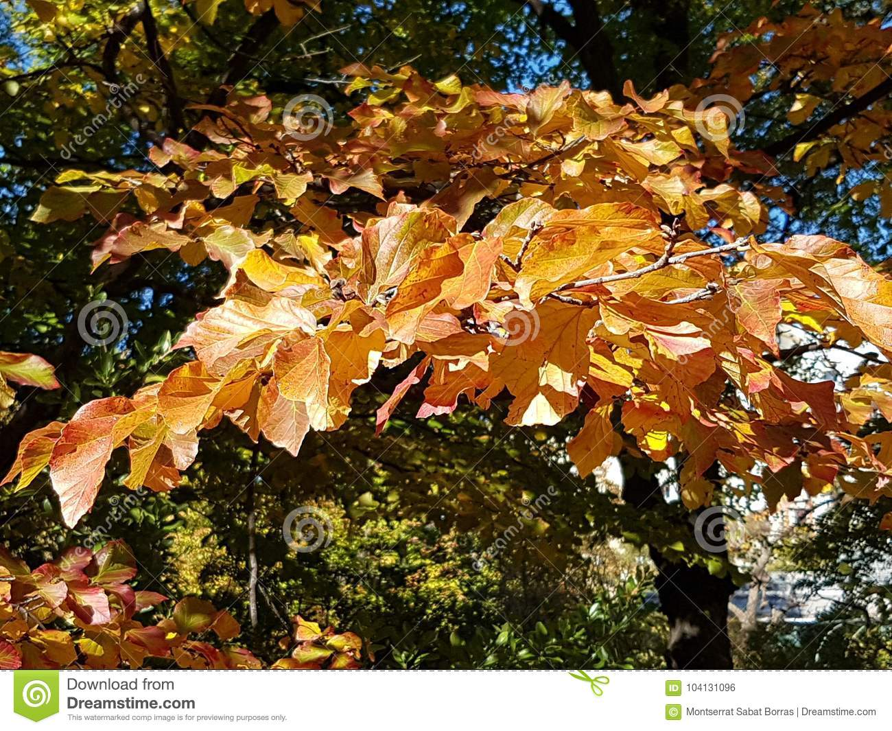 Red Leaf Tree Stock Photo Image Of Branch Yellow Spring