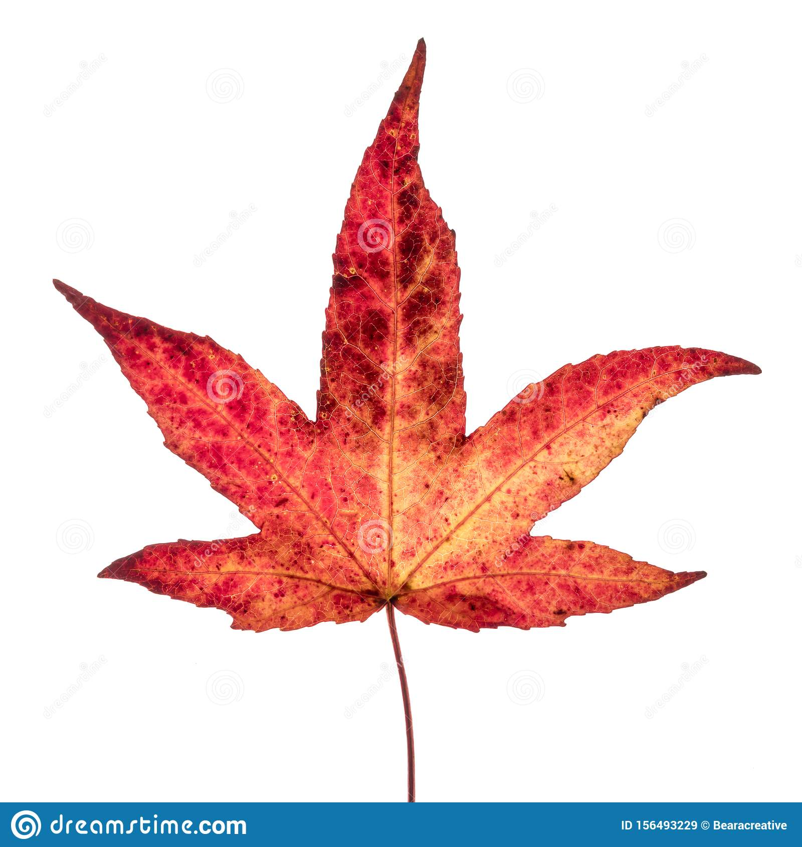 Red Yellow Japanese Maple Leaf Stock Image
