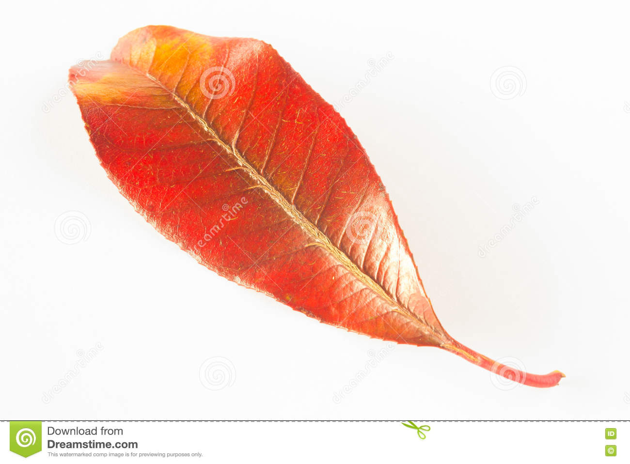 Red And Yellow Leaf On White Background Stock Photo