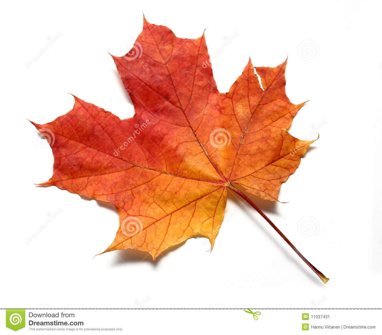 Red Yellow Maple Leaf Stock Image