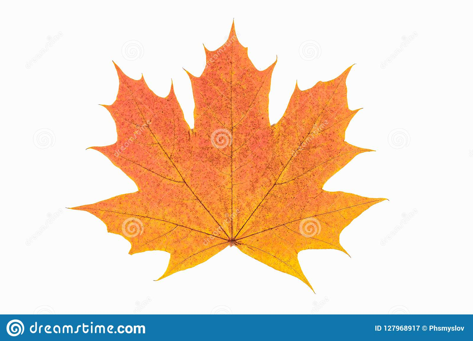 Red And Yellow Maple Leaf As An Autumn Symbol As A