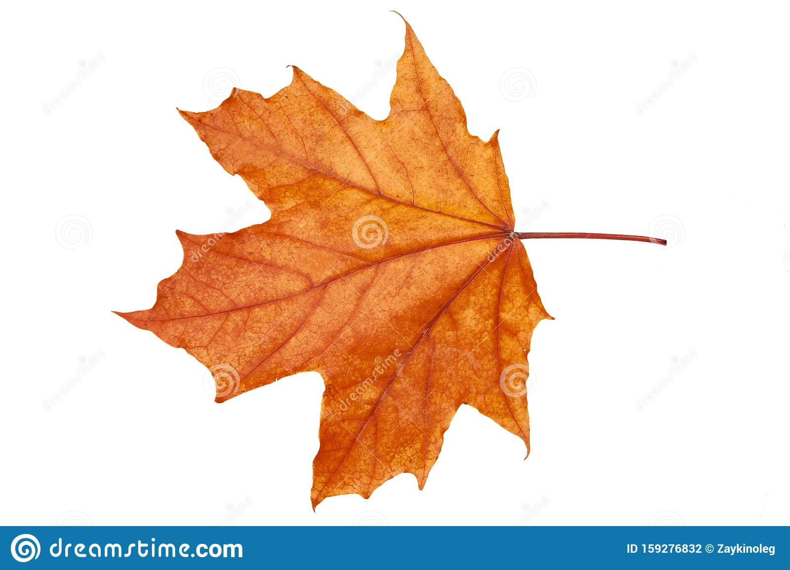 Red Yellow Maple Leaf On A White Background Stock Photo