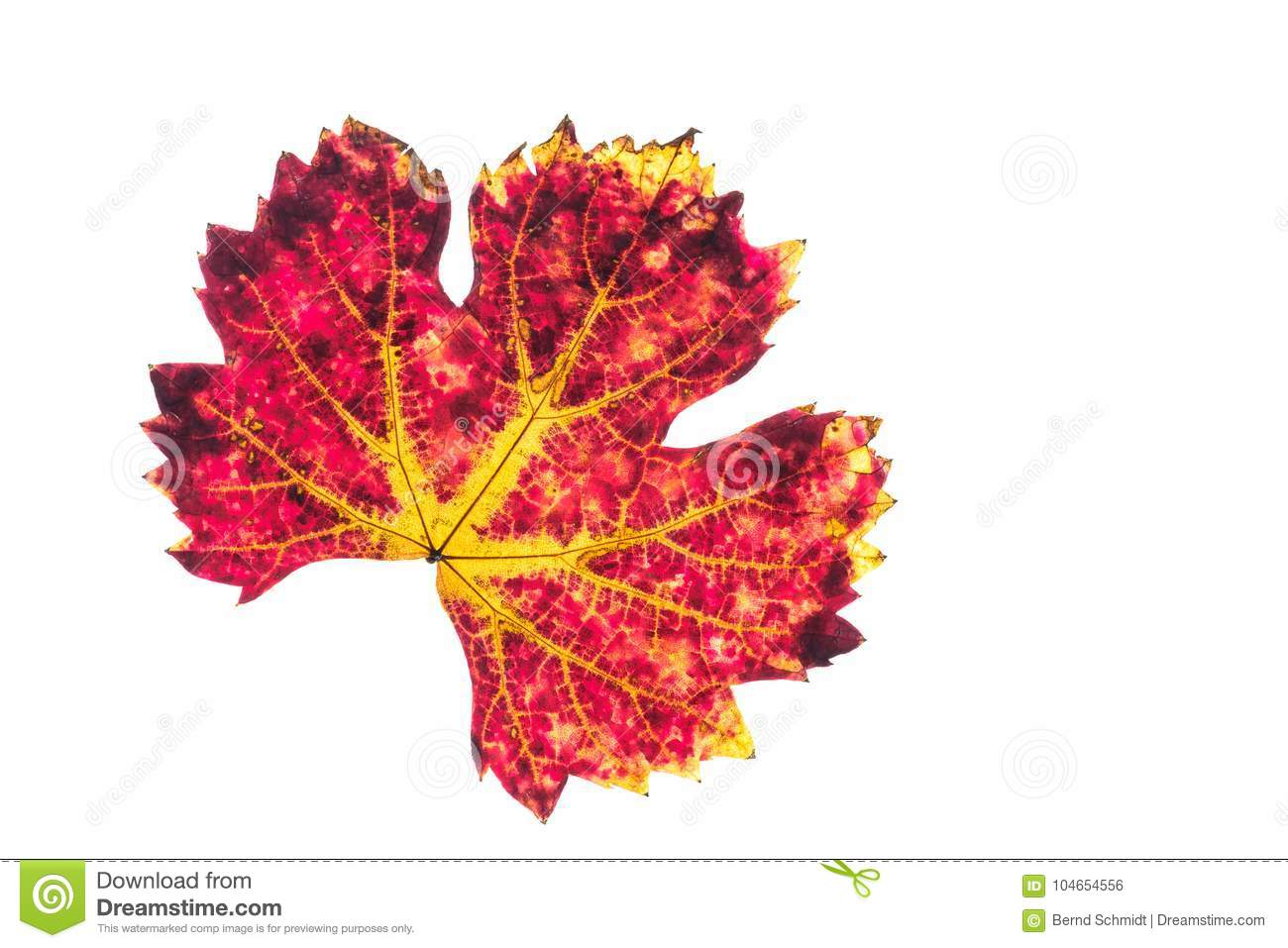 Red And Yellow Vine Leaf White Isolated Stock Photo