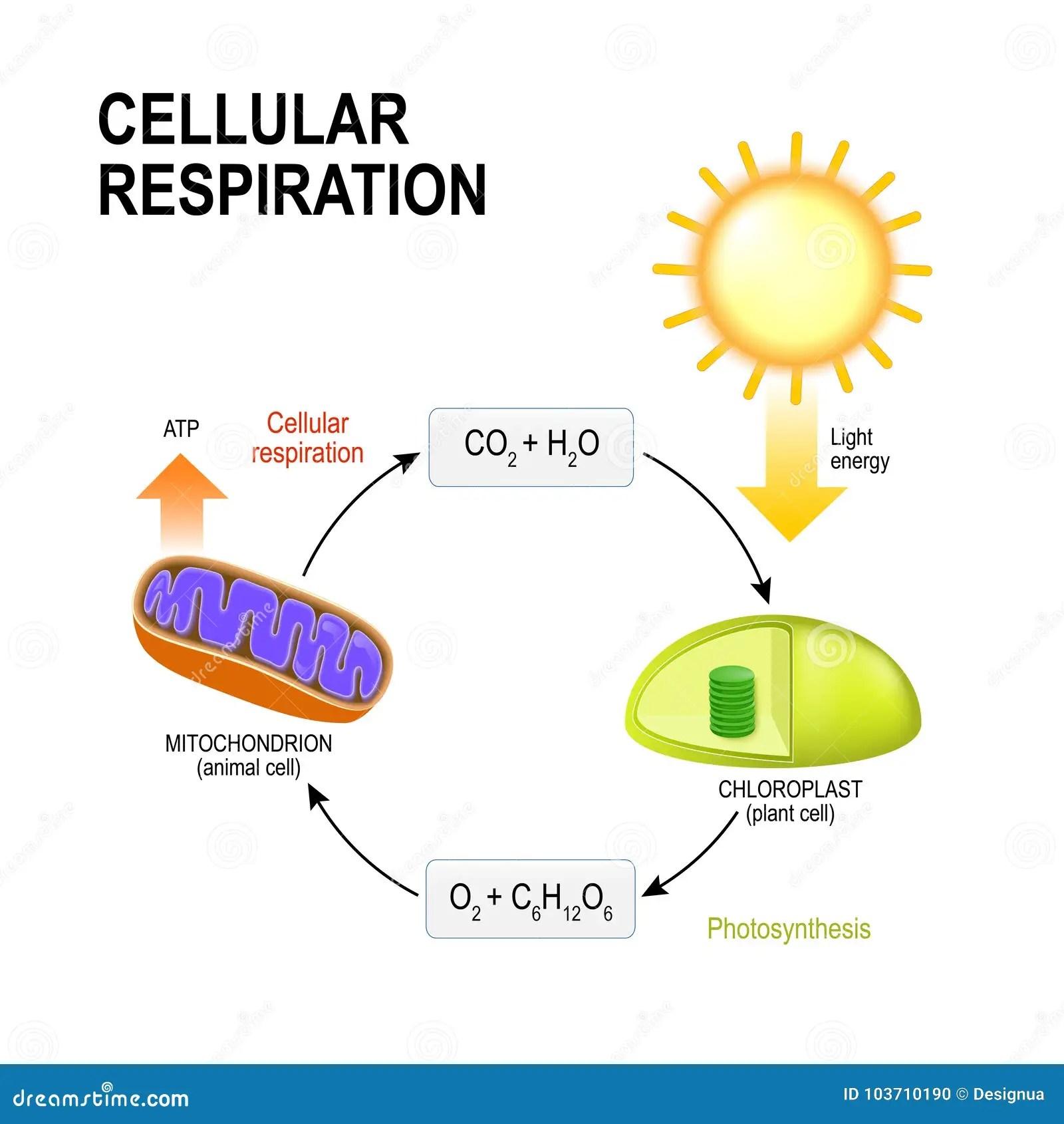 Respiration Cellulaire Respiration Cellulaire Se Reliante