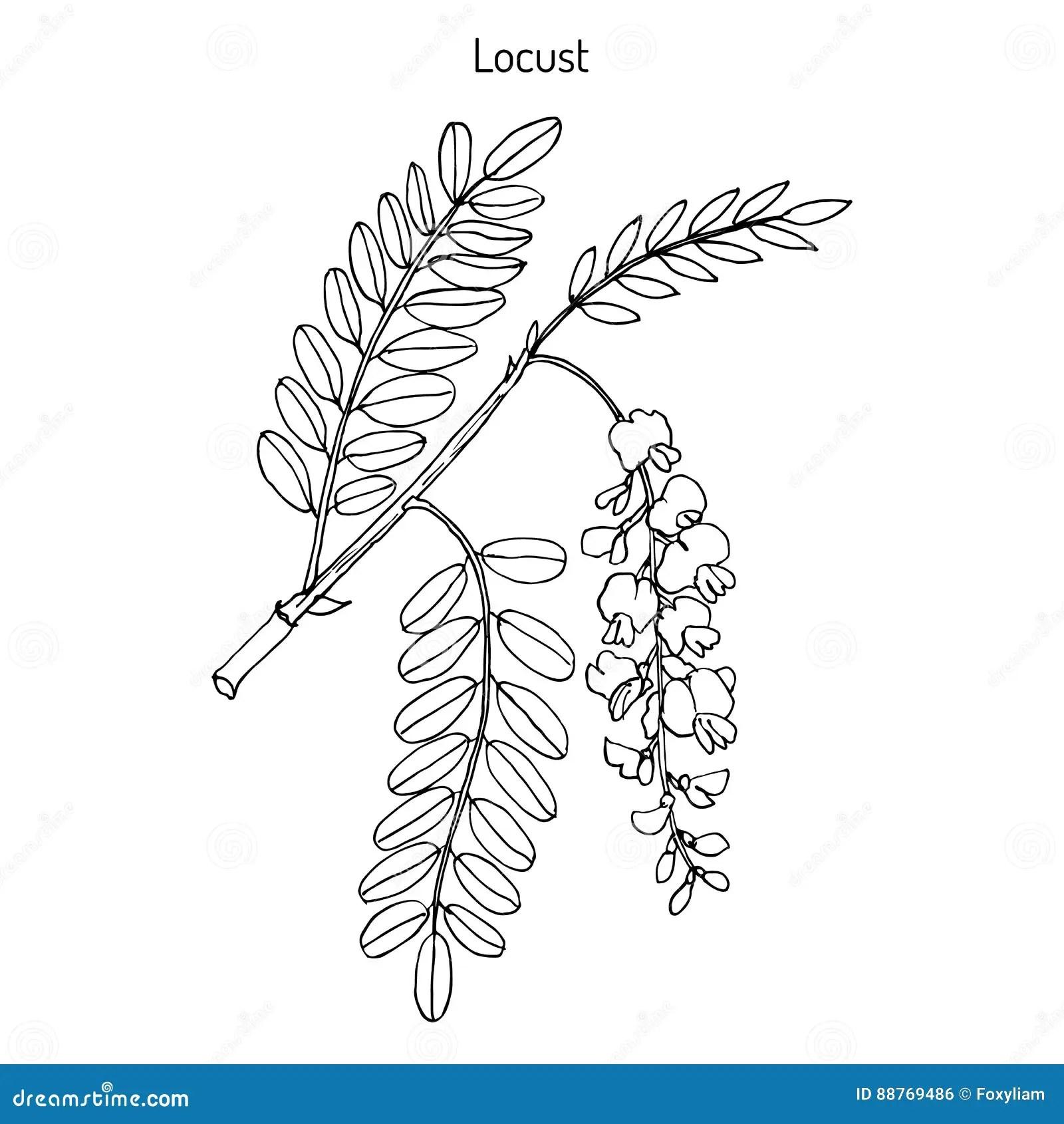 Robinia Pseudoacacia Or Black Locust Stock Vector