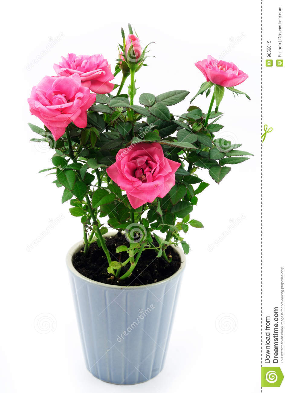 Rose In The Pot Royalty Free Stock Photo Image 9056015