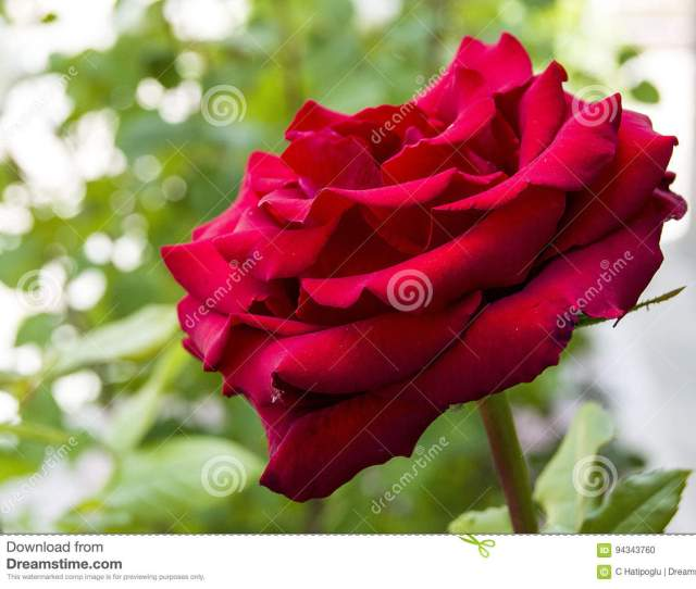 Roses Love Symbol Roses Red Roses For Lovers Day Natural Roses In The Gardenroses Roses For The Day Of Love The Most Wonderful Natural Roses Suitable
