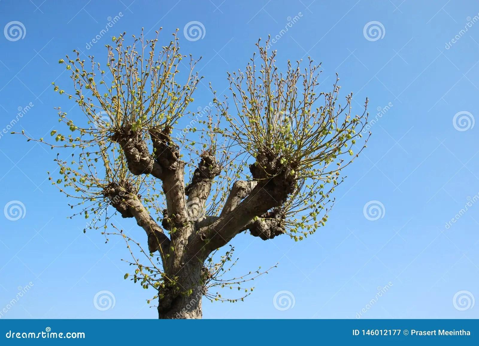 Season Change Tree Budding Leaves In Spring Stock Image