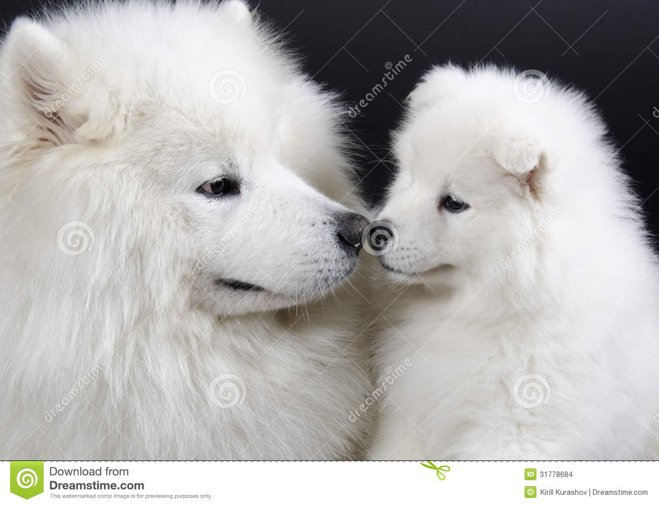 Samoyed Dogs Stock Images Image 31778684