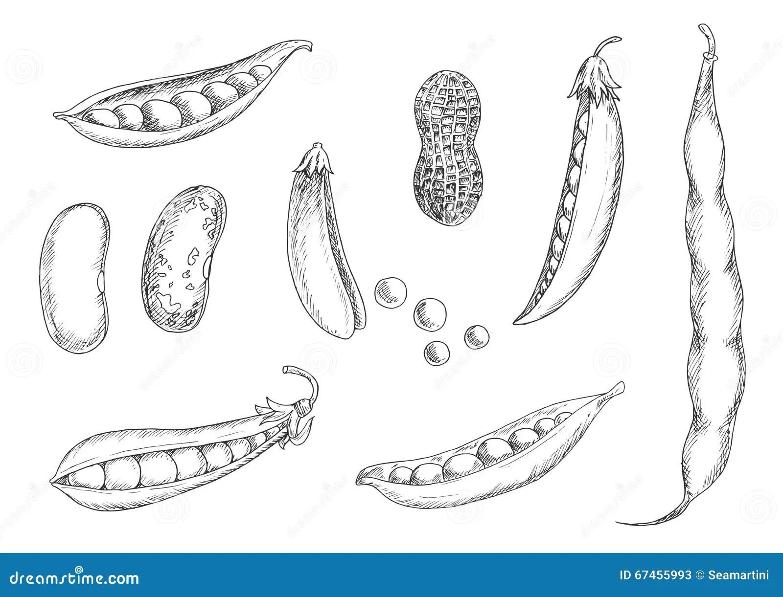 Schetsen Van Pinda Peulen En Bonen Vector Illustratie