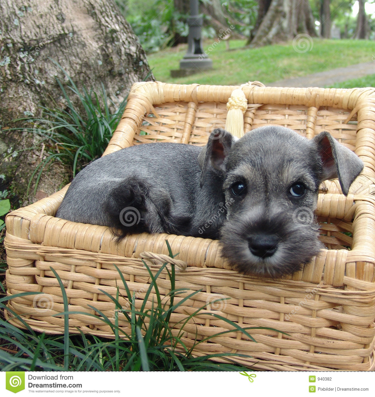 Schnauzer Puppy In A Basket Stock Photography Image 940382