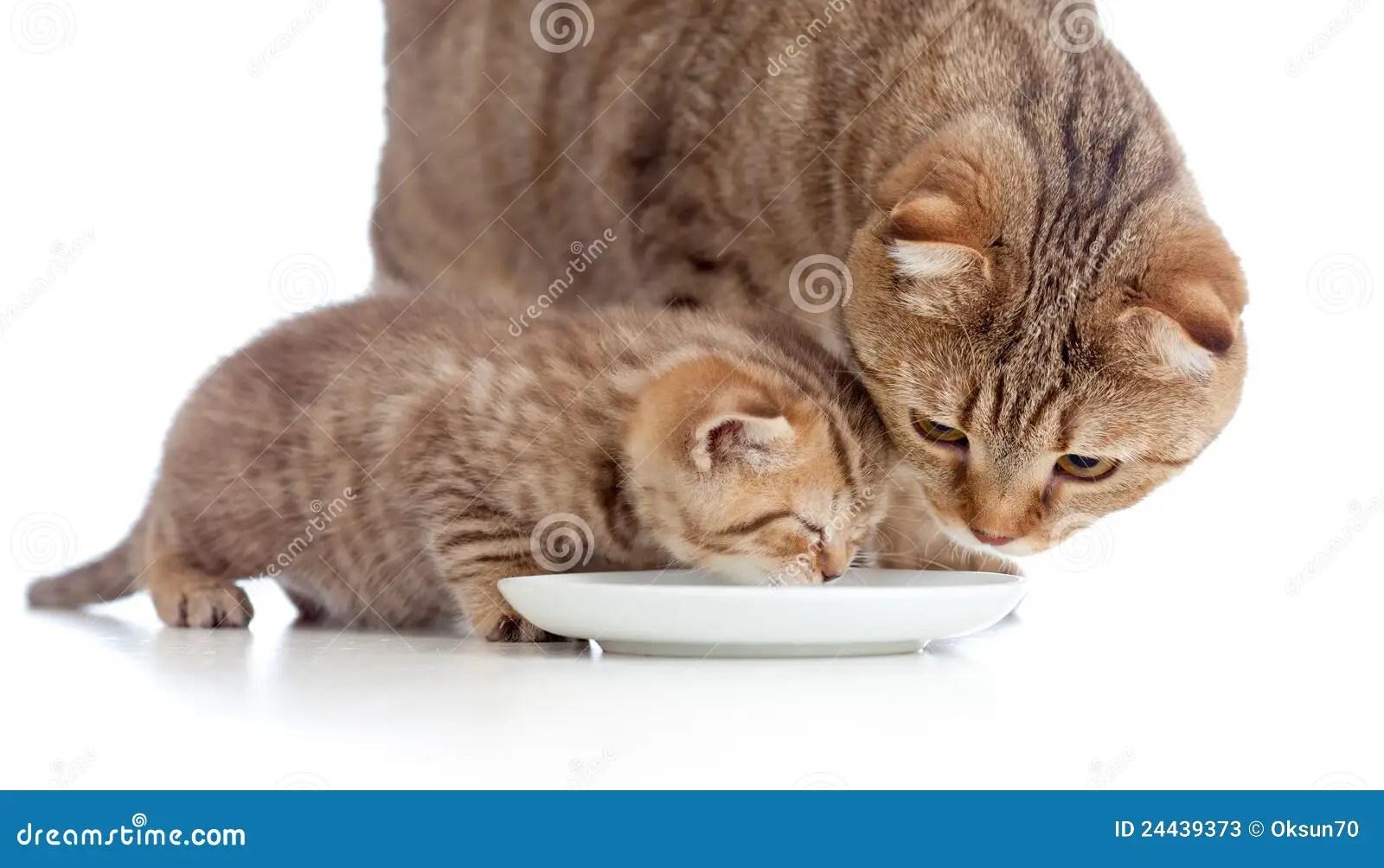 Scottish Kitten Baby With Cat Mother Cat Lap Milk Stock