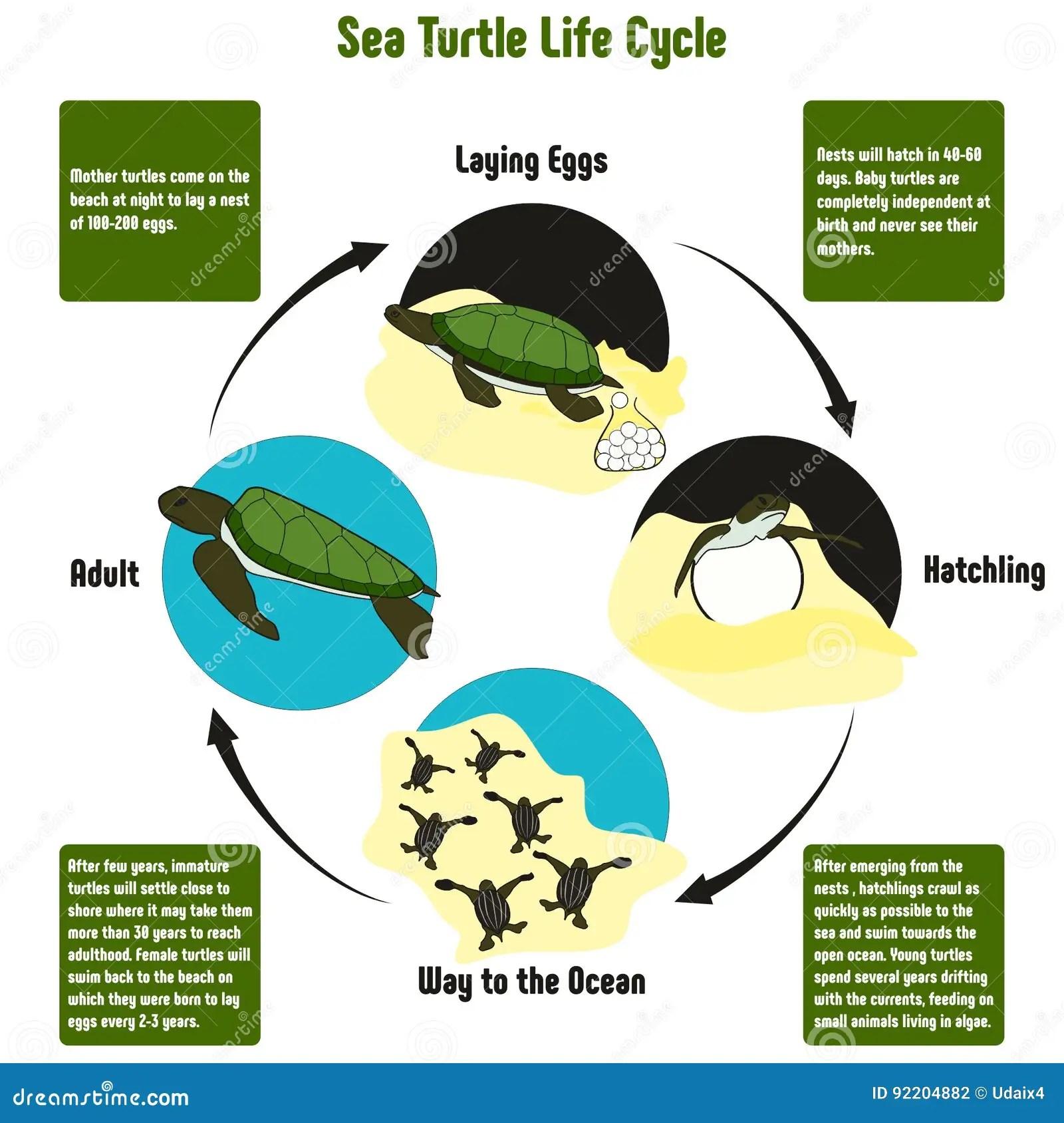 Sea Turtle Life Cycle Diagram Stock Vector
