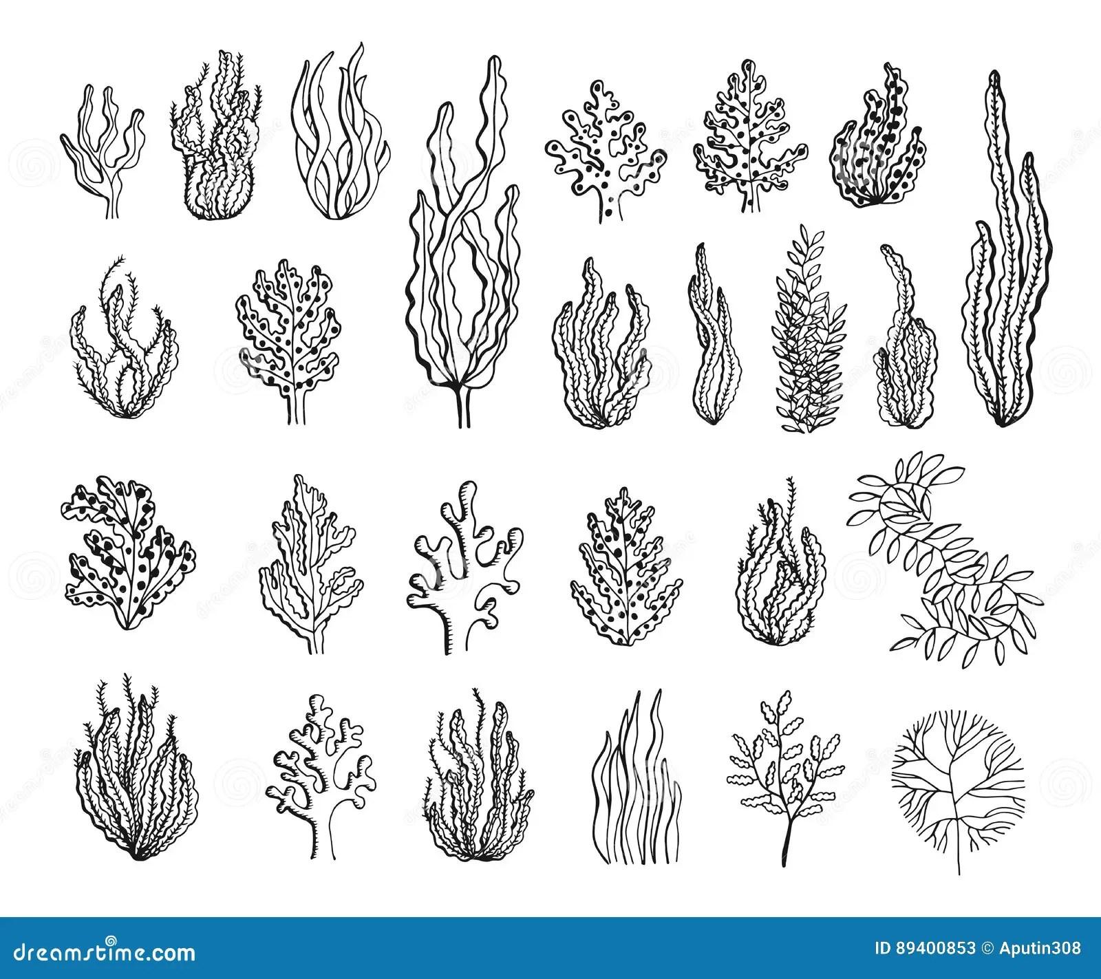 Seaweed Sketch Set Vector Stock Vector Image Of Life
