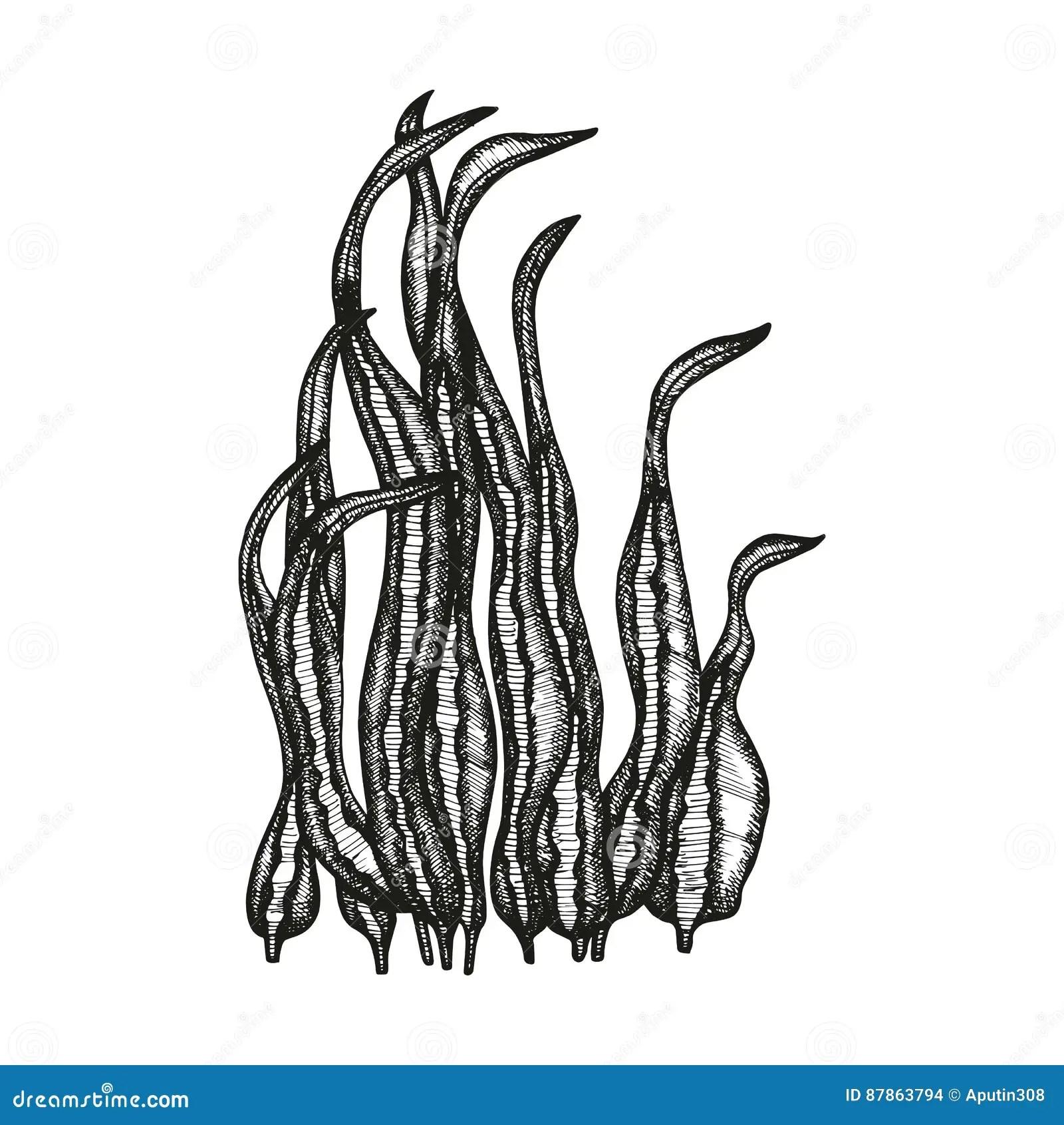 Seaweed Vector Drawing Vector Illustration