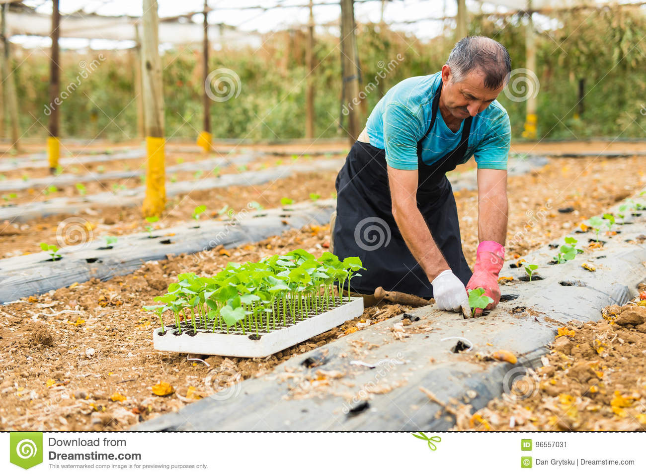 senior man planting a young pepper seedling in the home garden
