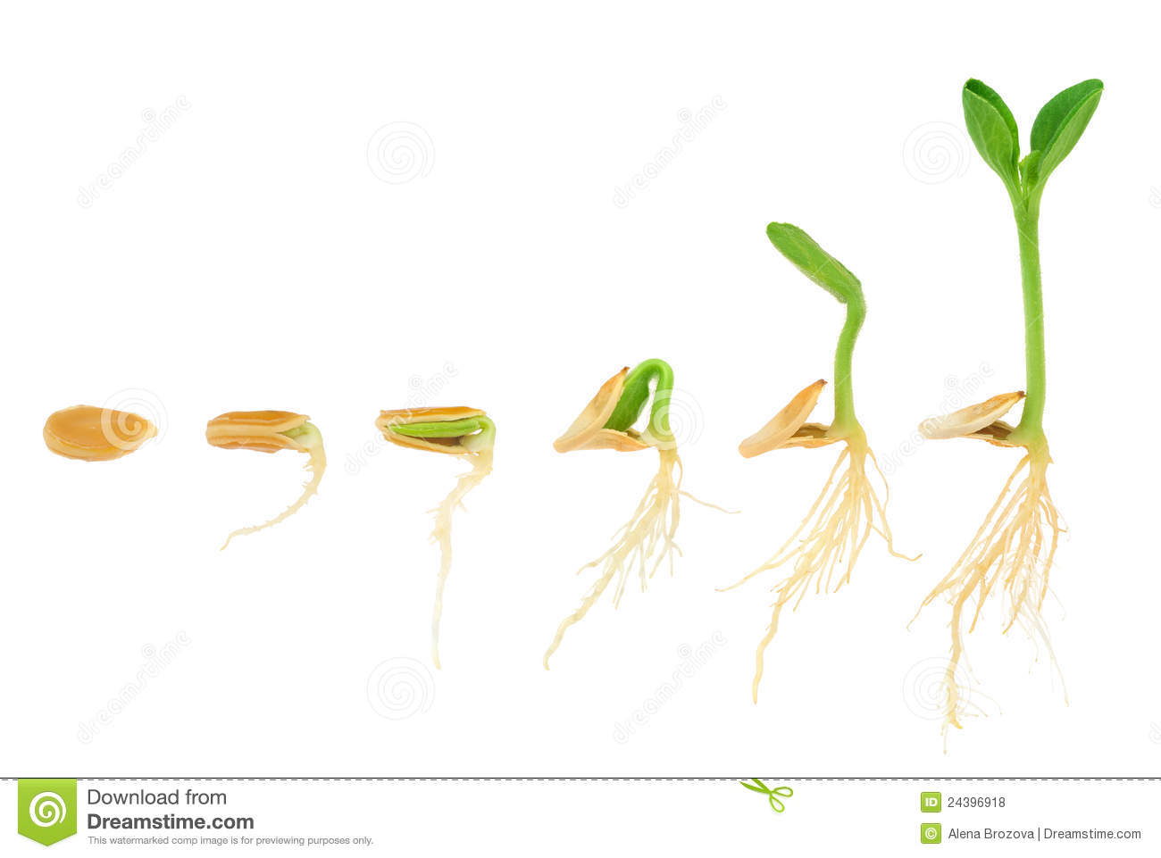 Sequence Of Pumpkin Plant Growing Isolated Stock Photo