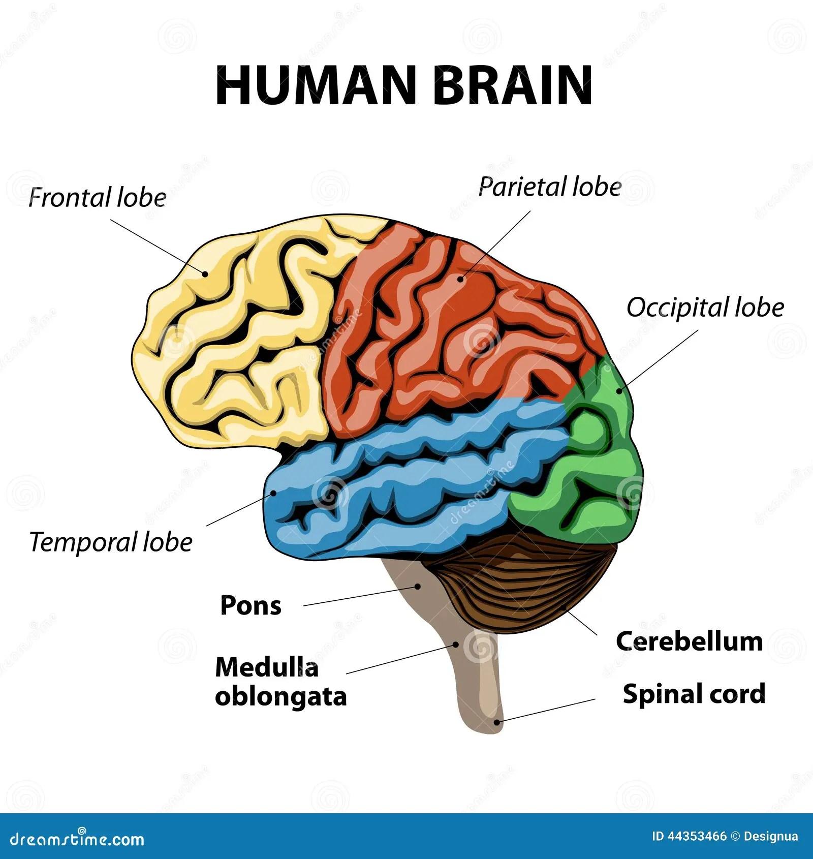 Ser Humano Brain Anatomy Ilustracion Del Vector