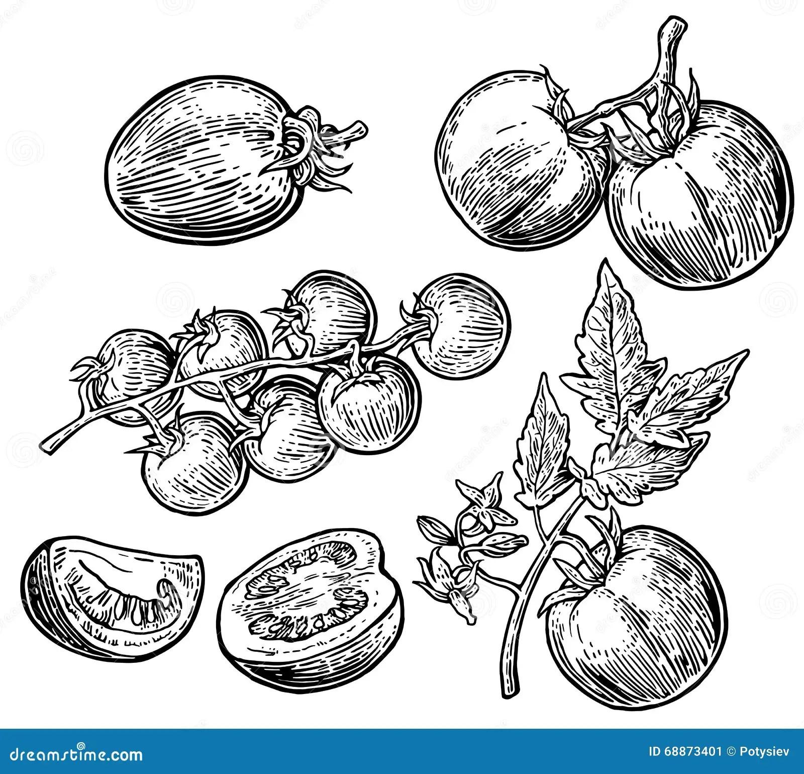 Set Of Hand Drawn Tomatoes On White Background Tomato