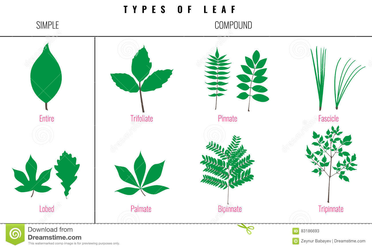 Set Of Leaf Types Infographics Silhouette Vector Stock