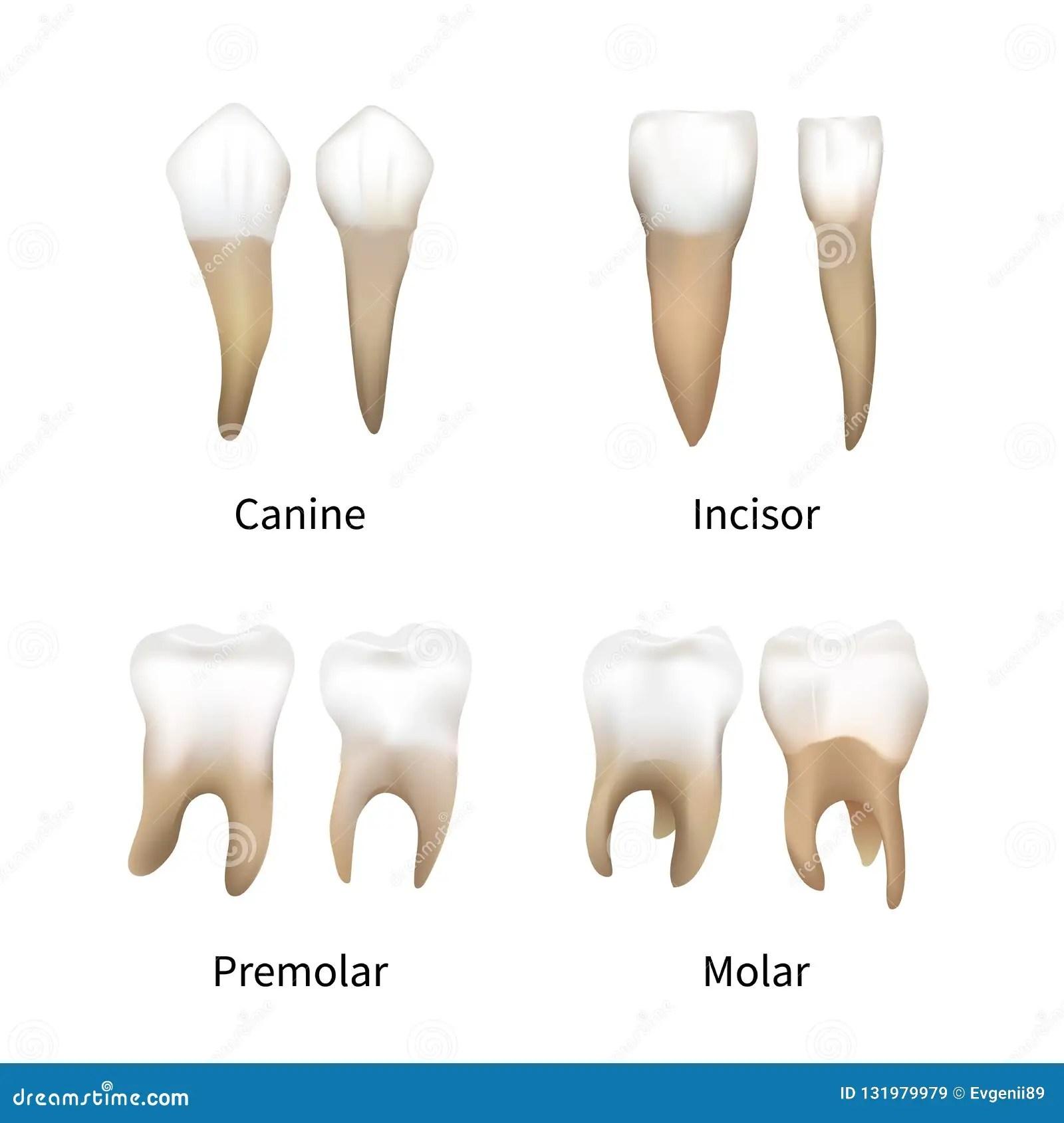 Human Teeth Types Stock Illustrations 87 Human Teeth