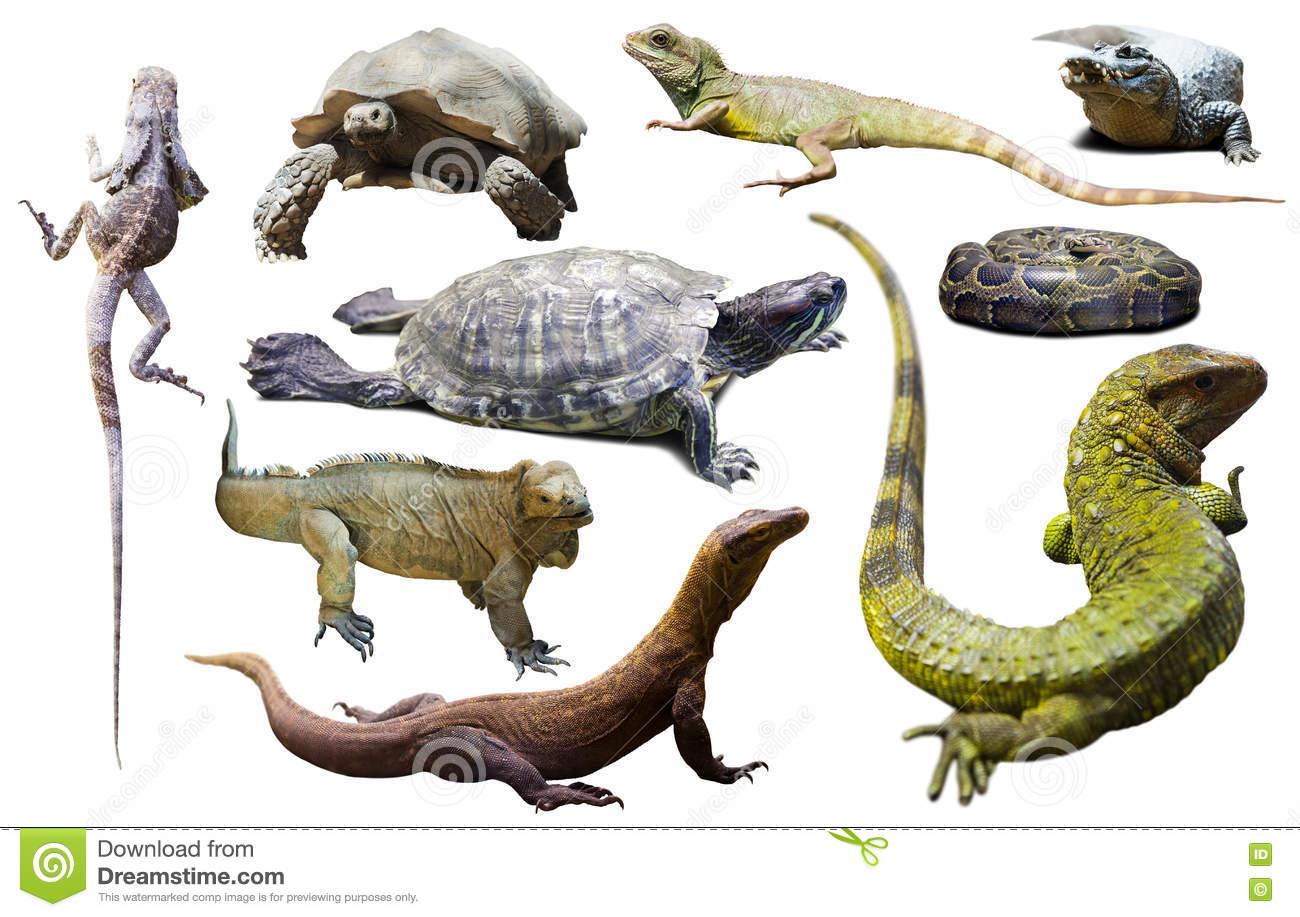 Set Of Reptiles Isolated Stock Photo Image Of African